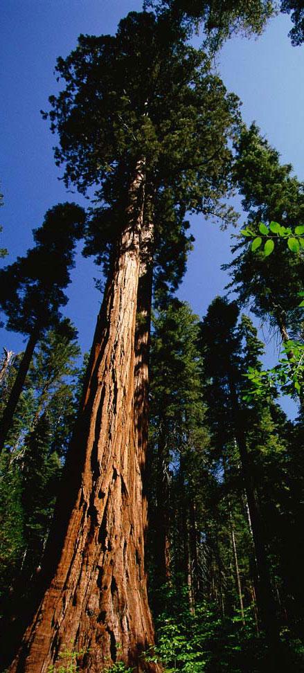 Redwood-Tree.jpg