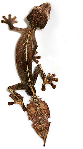 satanic-leaf-tailed-gecko.jpg