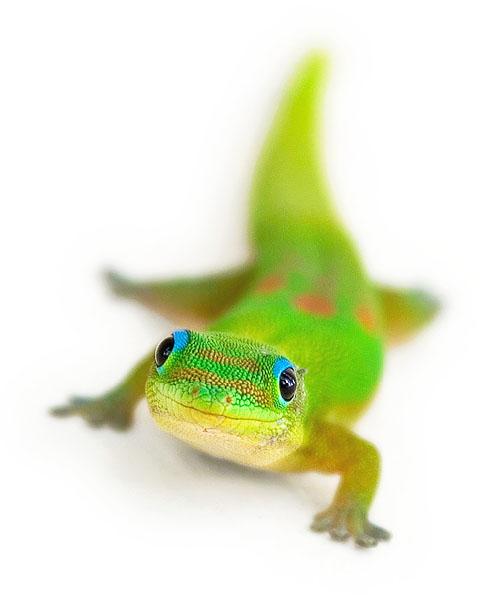smiling_gecko.jpg