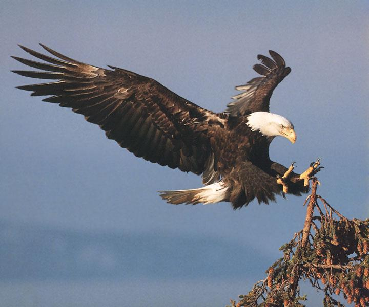 Bald-Eagle-Landing-Down-On-Tree.Jpg